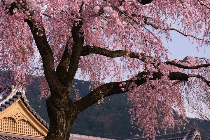 Sakura | Cherry tree